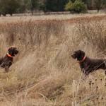 pheasanthunting014