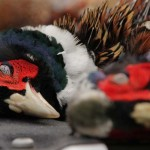 pheasanthunting021